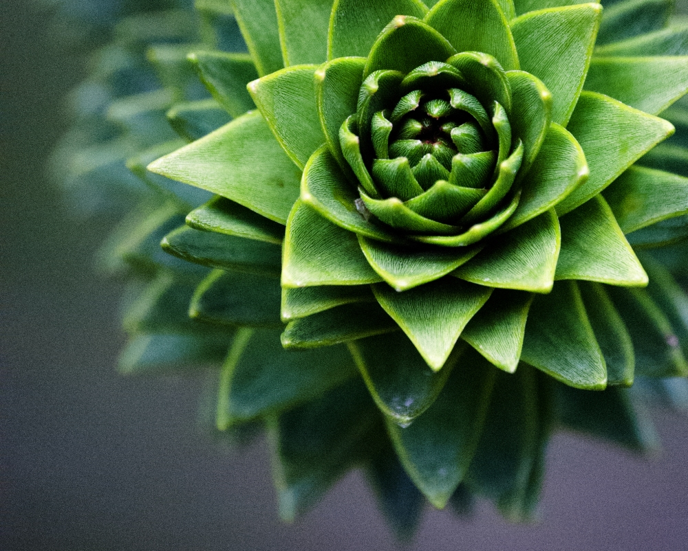 A close off centre crop of a Monkey Puzzle Tree - this is a close up taken with a 50-200 non VR lens. I would love to get hold of a Macro lens - would love to see the close up potential.